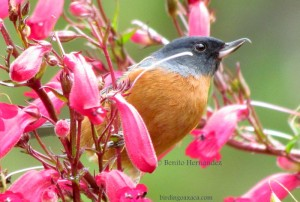 Cinnamon-bellied Flowerpiercer