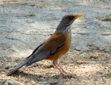 Rufous-backed Thrush