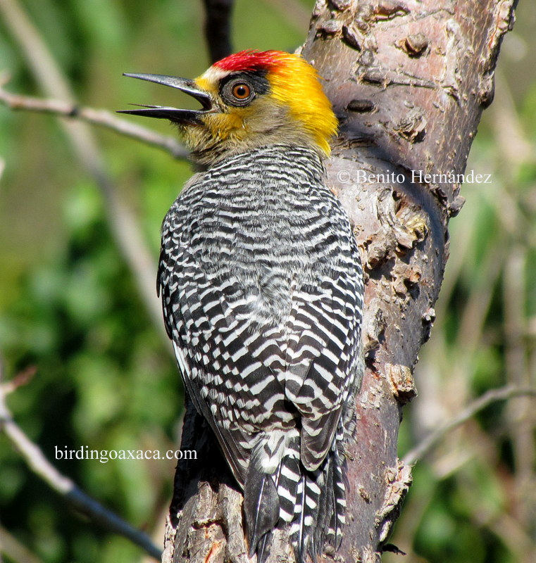 Golden-cheeked Woodpecker (Melanerpes chrysogenys)